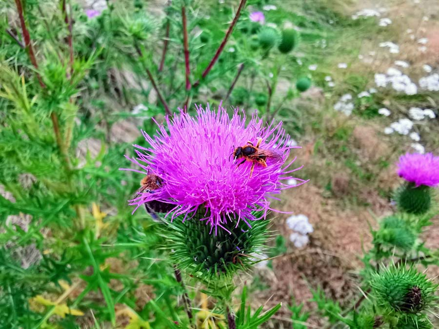 Bienen und Distel klein
